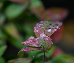 Big Drops and Little one,s too. (Omygodtom) Tags: macro macrodreams wet raindrop water contrast sunny sky red outside weather tamron tamron90mm nikkor field natural nikon dof d7100 flora leica zeiss 7dwf