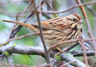 song sparrow at Cardinal Marsh IA 854A9160