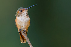 Lollipop (Life of David) Tags: california camarillo canon5dmarkiv selasphorussasin usa wildlife allenshummingbird backyard beautiful beauty bird hummingbird nature world100f