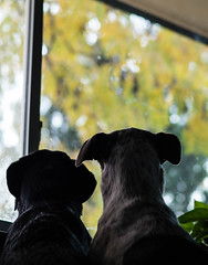 41/52 365  ODC - inside outside (d2roberts) Tags: 4152 dunkel insideoutside odc 52weeksfordogs fall dirtywindows