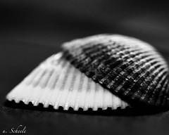 black & white shell (u. Scheele) Tags: makro macro macromondays macromandays mm hmm closeshot closeup canon canoneos80d eos80d eos digital tamron indoor shell einfarbig blackandwhite black white sw monochrome bw lowkey low key