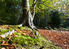 Stoke Woods (Christian Hacker) Tags: forest stokewoods exeter beech tree trees foliage leaves autumn autumnal moss orange red canon eos50d tamron 1750mm nature outdoors walking walk hike devon uk british england october