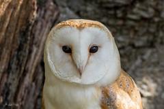 Barn Owl (Linda Martin Photography) Tags: newforest hampshire tytoalba barnowl uk owls bird owl coth alittlebeauty specanimal coth5 naturethroughthelens ngc sunrays5