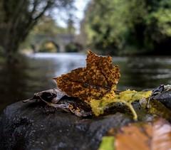 Autumn (Glenn Cartmill) Tags: stone water bridge river rx100m5 rx100v sony ireland unitedkingdom uk countydown riverbann leaf autumn northernireland gilford