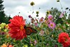 Dahlia Garden (vmi63) Tags: flower capturenx2 nikondx35mmf18 nikond7100 pennsylvania kennettsquare longwoodgardens