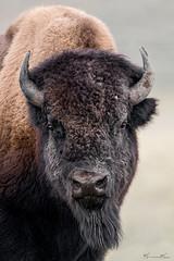 Bison Stare (Khurram Khan...) Tags: bison wildlife wildlifephotography wild wwwkhurramkhanphotocom winter yellowstonenationalpark naturephotos naturephotography ilovenature iamnikon nikonnofilter west nikond850