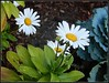 Daisies In Autumn - Photo Taken by STEVEN CHATEAUNEUF On October 20, 2017 And Minor Editing Was Done (snc145) Tags: nature colors outdoor autumn fall seasons photo clear vivid powerful pretty october202017 stevenchateauneuf vividstriking daisies compositae autofocus flickrunitedaward