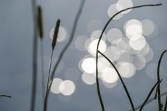 Glistening Water (Joy Forever) Tags: grandteton tetons grandtetonnationalpark wyoming mountain rockymountains nationalpark usa bokeh reeds grass light sunlight oxbowbend