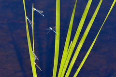 Damselflies on Cattail (NaturalLight) Tags: damselfly damselflies blue mating cattail chisholmcreekpark wichita kansas