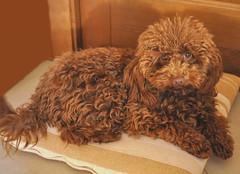 Amanda bella (Melisenda2010) Tags: fauna cagnetta barboncina dog coth coth5