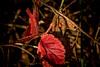 Herbstlich / Autumnal (Lispeltuut) Tags: ladybug nature herbst autumn blätter laves marienkäfer