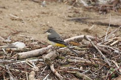 Grey Wagtail (motacilla cinerea) (mrm27) Tags: wagtail greywagtail motacilla motacillacinerea grafhamwater cambridgeshire