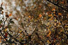 And The Fairy Lost Her Wonderbra (gripspix (Off 4 Recovery)) Tags: 20171016 autumn herbst impressions impressionen eindrücke dew tau drops droplets tröpfchen spiderweb spinnennetz twigs zweige shrub busch imagination vorstellungskraft
