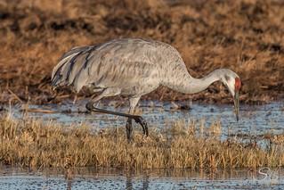 Sandhill crane, Cosumnes River Preserve