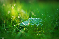 The First Rays Touch (martin_king.photo) Tags: firstrays firstraysofthenewrisingsun risingsun thefirstraystouch earlymorning silentmorning quietmorning morningdew autumn herbst morningglow morning glow nature bokeh grass trees backlight leaf meadow peace bokehlicious lostinbokeh simple beautiful beauty martin king photo weather countryside naturpur welovebokeh greatday great czechrepublic tschechischerepublik martinkingphoto natural naturallight walkinnature pure yellow gold goldenhour green