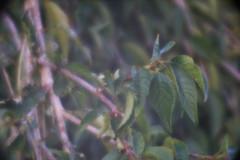 DSC07000 (Old Lenses New Camera) Tags: sony a7r kodak pocketkodakno1 meniscus achromat plants garden trees branches leaves autumn