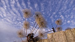 Old Man's beard looks over the fence (Englepip) Tags: clematisvitalba oldmansbeard sky clouds fence seed heads plant outdoor