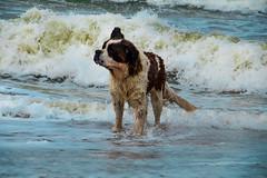 galli cadzand9 (cdandrifosse) Tags: galli saint bernard mer cadzand chien