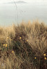 Daffodils among marram. Tresco (Mary Gillham Archive Project) Tags: 2286 daffodil england island landscape narcissus planttree sv8914 scillyisles tresco unitedkingdom gb