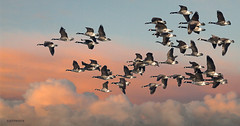 flock of geese (jeff.white18) Tags: canadagoose closeup goose flight wings fly sky nature langford wildlife wild flickr