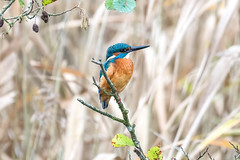 Common Kingfisher  -  Eisvogel (CJH Natural) Tags: eisvogel bird vogel kingfisher commonkingfisher perch reedbed naturalphotography nature orange turqouise