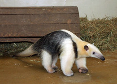 Young Tamandua (Schwanzus_Longus) Tags: america animal ant anteater bear child cute dortmund eat funny german germany lesser long mouth nocturnal odd small snout south stripe tamandua tongue tropical wild zoo antbear ameisenbär tier