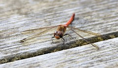 Deck landing. (pstone646) Tags: dragonfly insect animal nature wildlife wings closeup fauna
