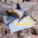 Picasso Triggerfish, juvenile - Rhinecanthus aculeatus thumbnail