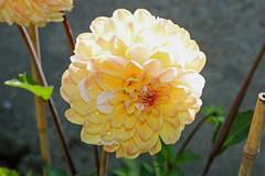 Dahlia 'Double Jill' - BG Berlin (Ruud de Block) Tags: berlinbotanicalgarden botanischergartenberlin asteraceae compositae dahliadoublejill ruuddeblock