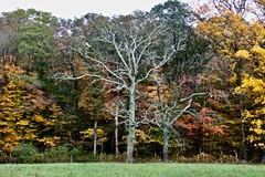 One Dead (Read2me) Tags: cye tcfe autumn trees colorful pregamewinner deadtree many perpetualchallengewinner gamewinner