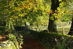 Autumn leaves... (Blue Sky Pix) Tags: beech trees autumn leaves golden limestoneway winster derbyshire peak district park england pentax exercise healthy freshair drystonewalls