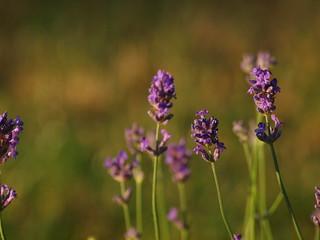 Lavendel zum Sonnenaufgang