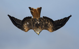 Red Kite - Diving In (and keeping an 'eye' on the camera)