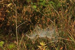 Glentress cobwebs (Concentricity) Tags: heather cobweb dew drop droplet catenary moor spider web autumn tweeddale scottish borders tweedvalleyforestpark glentress 7stanes