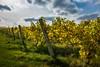 Finger Lakes Gold #1 ({Danny.Hart}) Tags: fuji x100s skaneateleslake fingerlakes winery vineyard