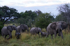 Elephants4 (deepchi1) Tags: africa botswana safari wildlife game viewing gameviewing gametracking tracking biggame zoology okavangodelta delta grass elephants bigfive pachyderms trunk herd acaciatrees babyelephants baby