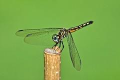Blue Dasher (deanrr) Tags: bluedasherdragonfly bluedasher dasher dragonfly summer 2017 greenbackground insect nature outdoor morgancountyalabama alabama