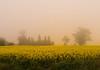 Yellow glow (malcolmgrant2) Tags: farm foggy rapeseed landscape fe28 sonya7