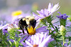BumbleBee4 (Rich Mayer Photography) Tags: bumble bee bees wasp insect flower flowers animal animals nature insects wild life wildlife nikon