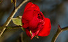 Red rose (Lt_Dan) Tags: canon600d canon100f28macro flower rose red 7dwf