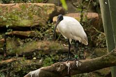 Zwartkopibis - Black-headed ibis (Den Batter) Tags: nikon d7200 blijdorp dierentuin zoo zwartkopibis blackheadedibis threskiornismelanocephalus