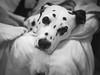 Entspannt. (jens.steinbeisser) Tags: haustier dog hund dalmatiner olympusepl3 sw bw filmsimulation rawtherapee deutschland shisana germany fujiancctvlens3517