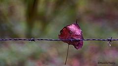 Dés que le vent soufflera .... (musette thierry) Tags: feuille automne nikon vent couleur musette thierry reflex d600 photographie new texture