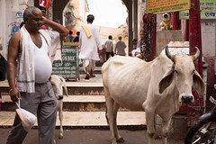 Big Belly (enmrd) Tags: belly cows india rajasthan travel a7s streetphotography street streetcolor loxia50mm púshkar