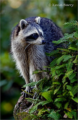 Raccoon (Kevin B Photo) Tags: kevinbarry raccoon dadecountyflorida vertical nature native oak tree resurrectionfern green morning mammal cute bandit autumn fall climbing