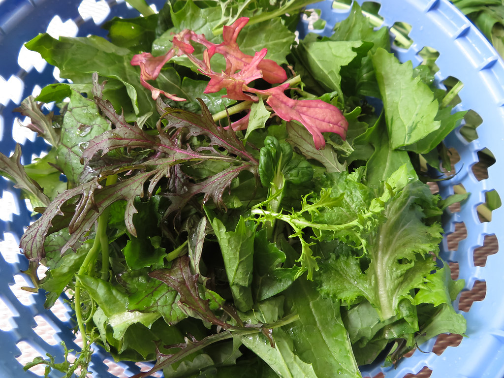 Asia salat ernte