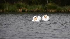Lac des Cygnes - Swan Lake (francisaubry) Tags: nikon 300mm cygne swan lake lac des cygnes swanlake lacdescygnes vidéo nikkor nikonflickraward