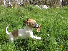 Pupper (staceygallagher2) Tags: photography animal nature ireland cute dog doggo jackrussell puppy pup pupper
