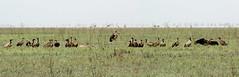 The Last Supper (zimbart) Tags: africa mozambique gorongosanationalpark fauna vertebrata aves birds ciconiidae ciconiiformes leptoptilos crumenifer accipitriformes accipitridae gyps gypsafricanus trigonoceps trigonocepsoccipitalis