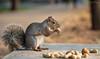 Scoiattolo (Christian Papagni | Photography) Tags: legnano lombardia italia it squirrel scoiattolo scoiattoli canon eos 7d mark ii ef100mm f28l macro is usm parco castello